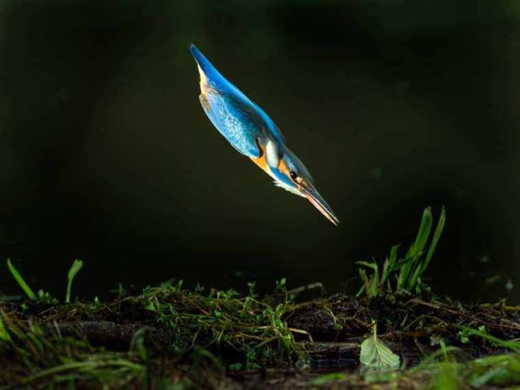 Tom Craig chose a kingfisher. (Photograph by Koen Cuppens)