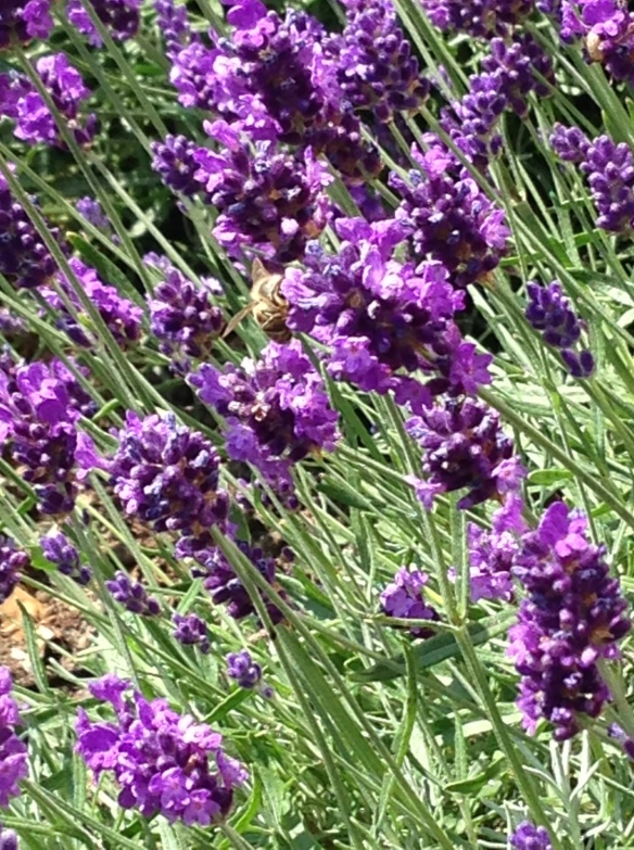 The lavender bushes that Ajaz planted in how mother's garden, in the sunshine, with bees buzzing around them.