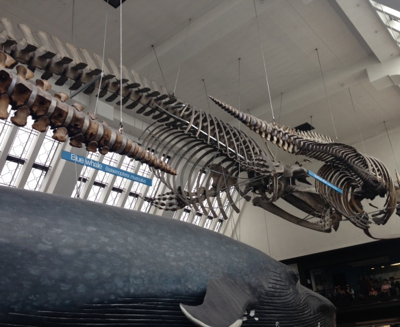 The Natural History Museum's blue whale skeleton