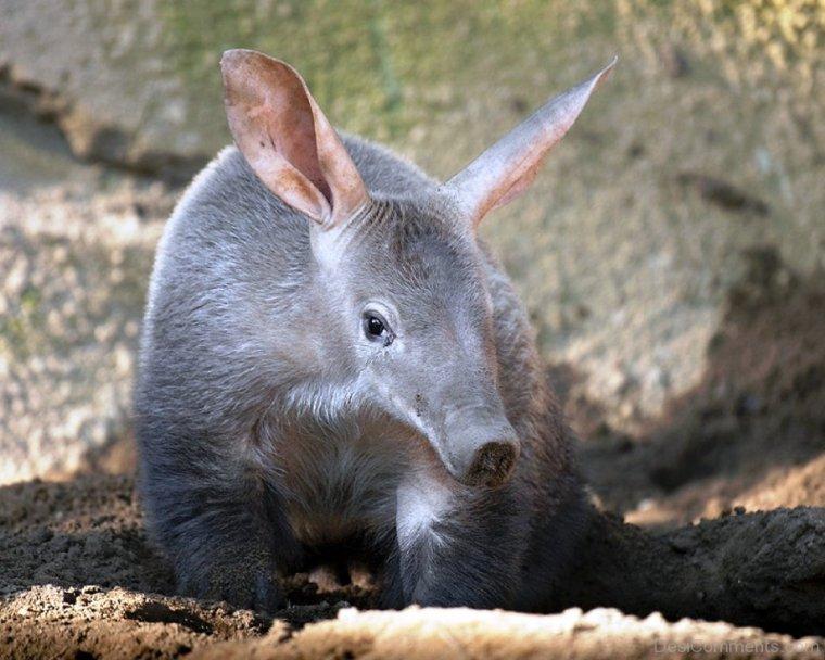 Grey-Aardvark-dc1226